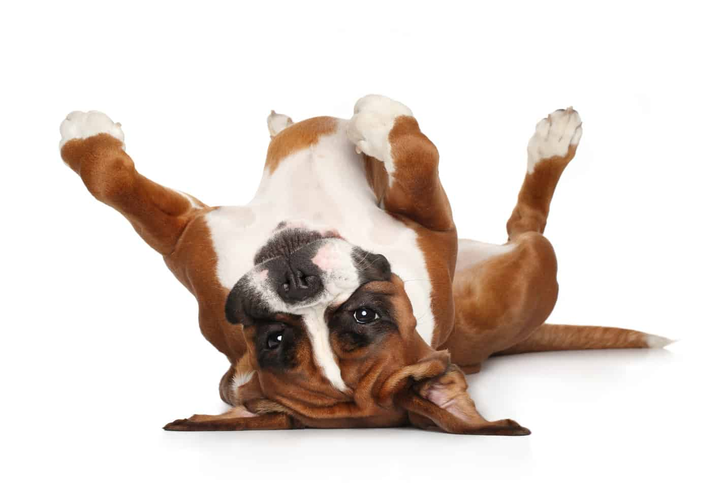 Boxer Temperament: What's it like owning one?