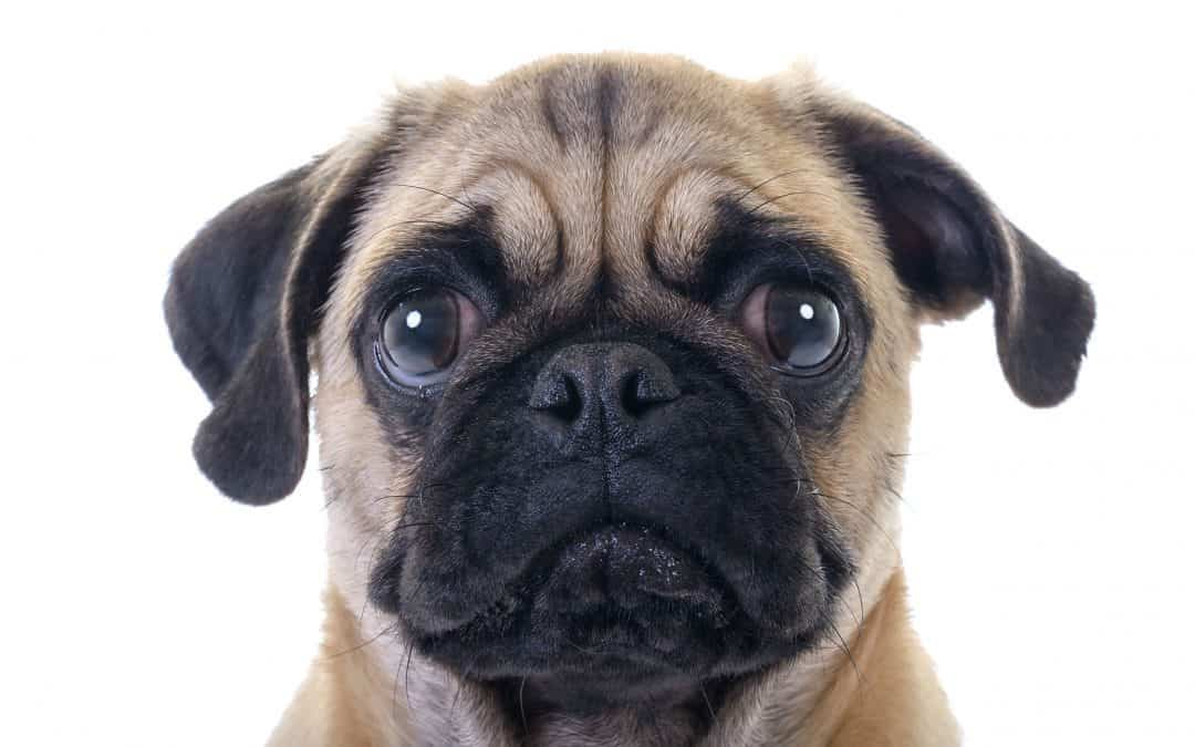Pug Temperament: What's it Like Owning One?