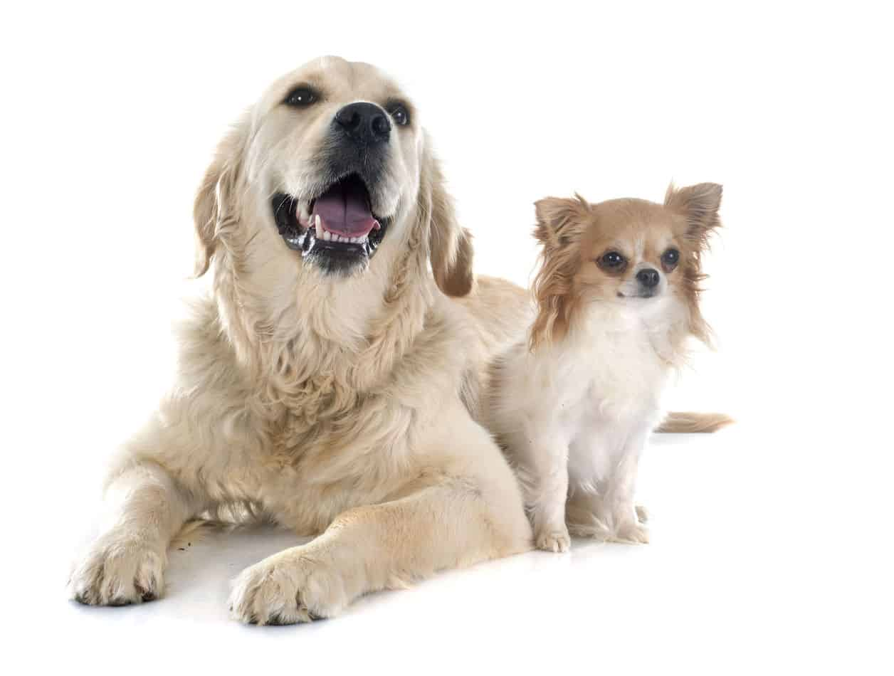 Chihuahua/Retriever Mix (Golden Chi): A Complete Guide