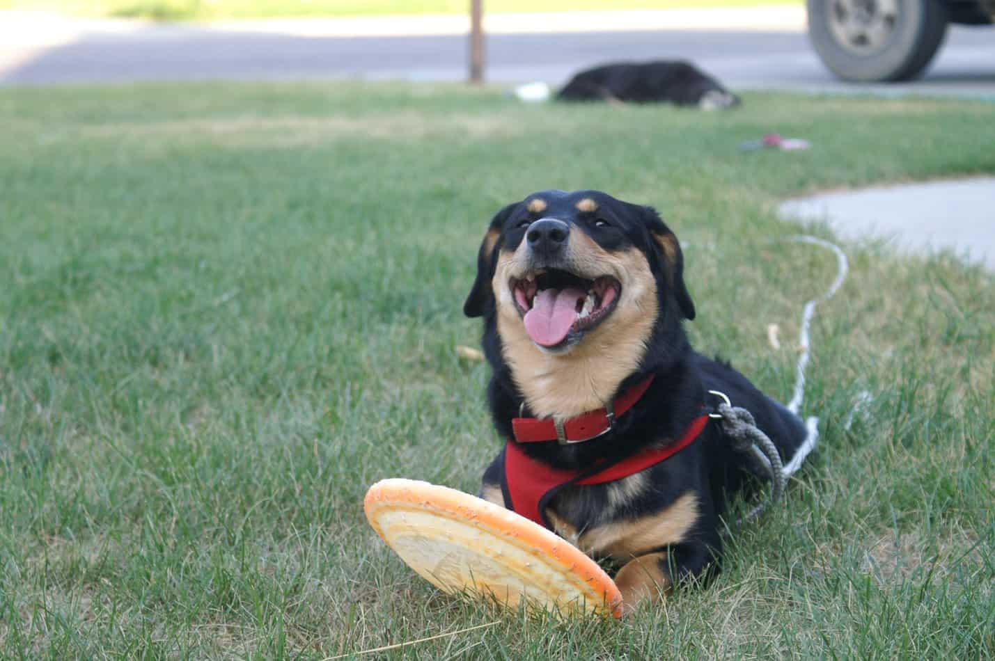 Choosing a Rottweiler Mix Breed: Which is Best for Your Home?