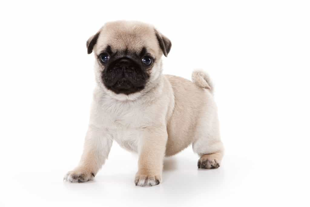 What Are Pugs Bred For Embora Pets