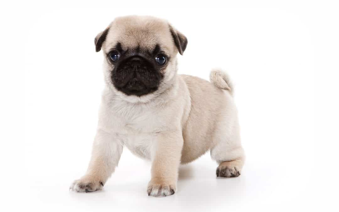 What Are Pugs Bred For?