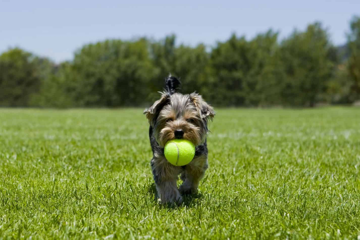 Yorkshire Terrier Temperament What S
