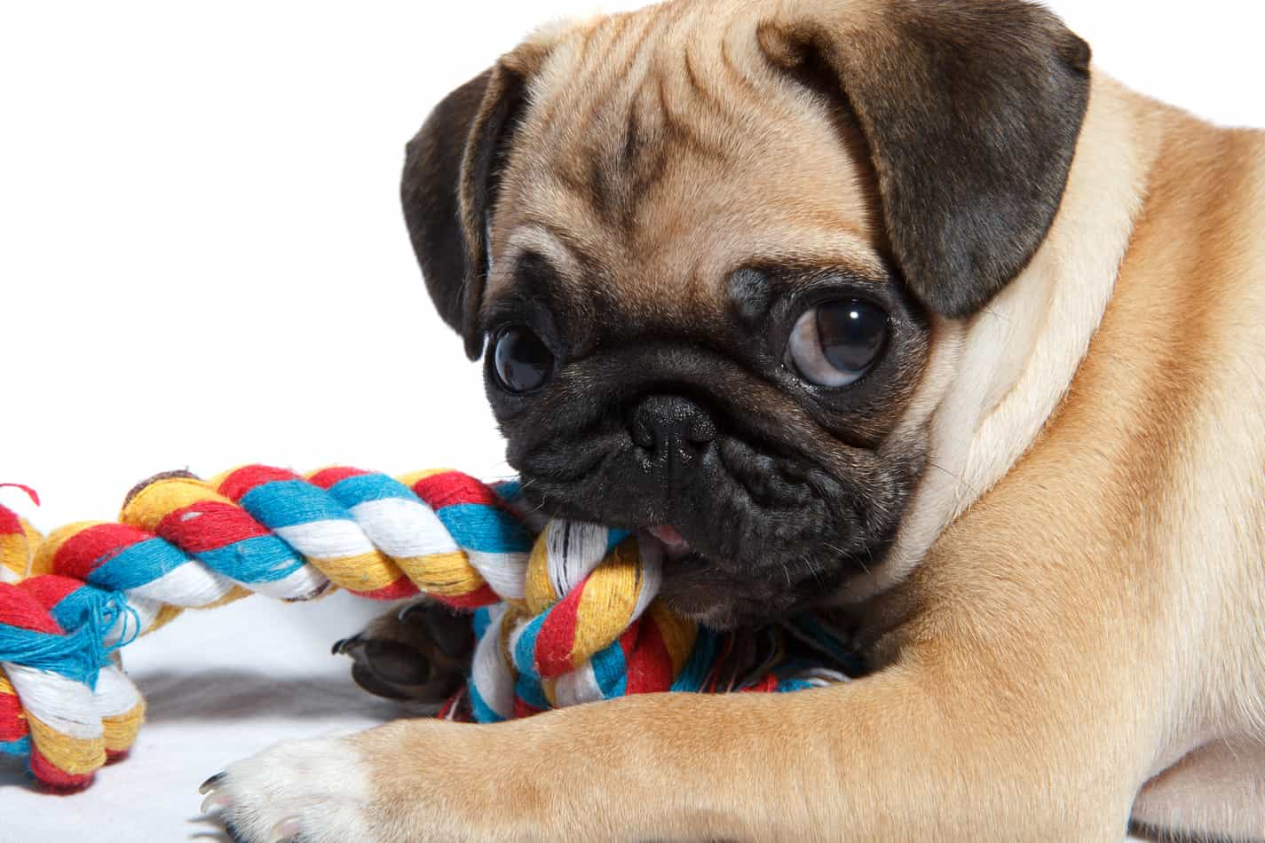 Pug Intelligence: Are They Really Dumb Like Some People Say?