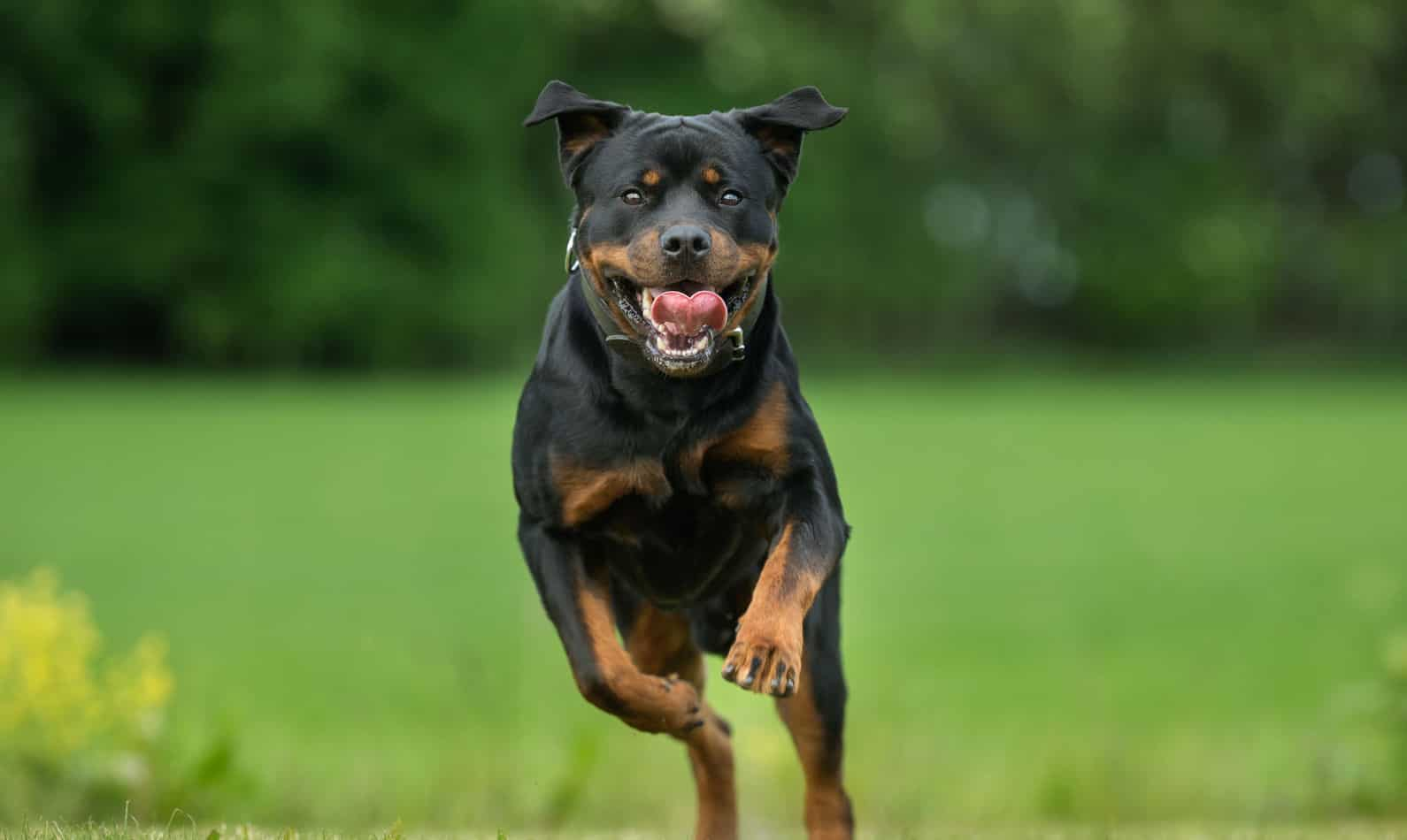 Rottweiler Temperament: What's it Like Owning One?