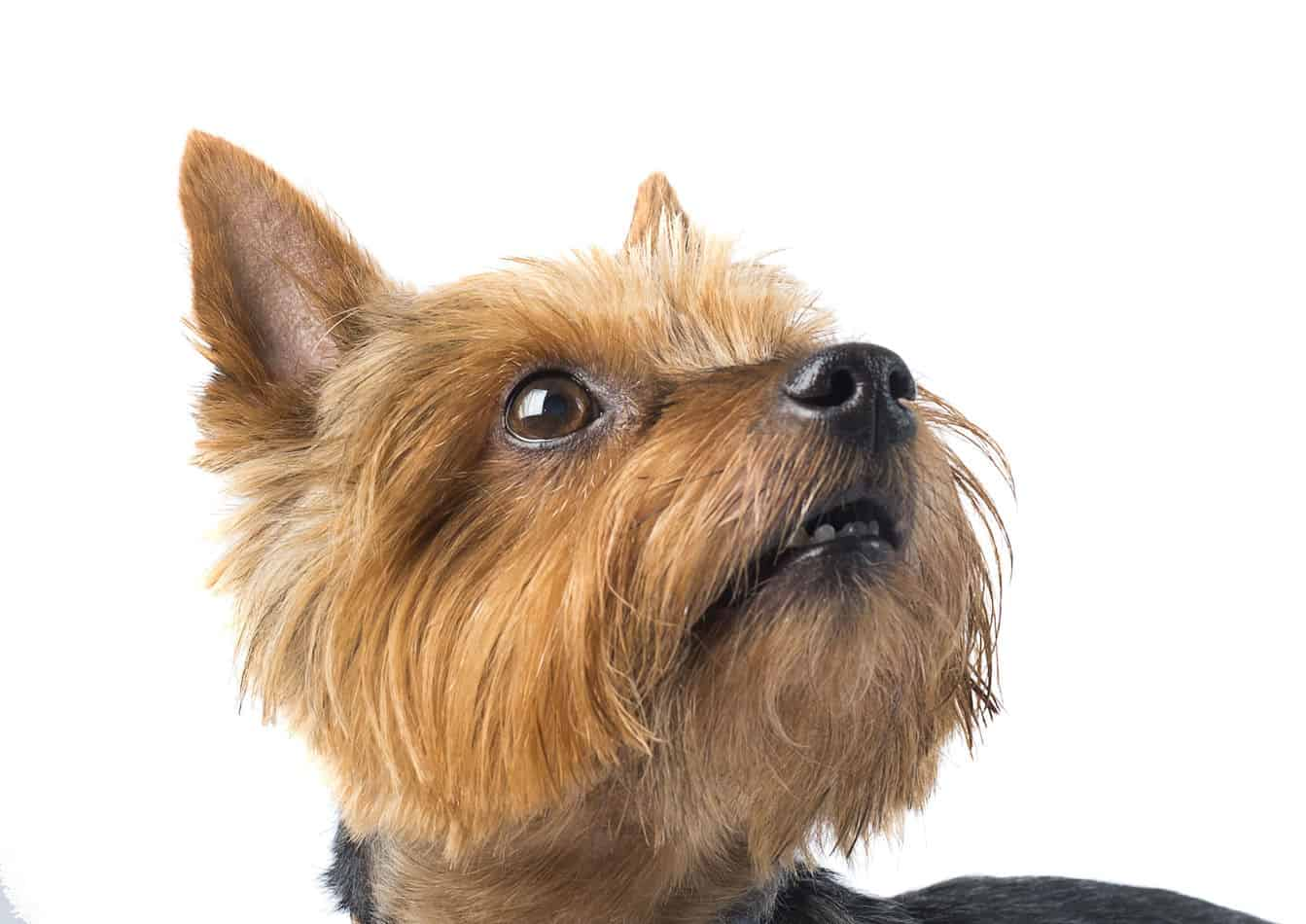 Yorkshire Terrier Rescue Guide How To
