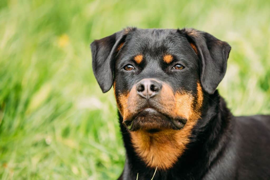 Do Rottweilers Shed?