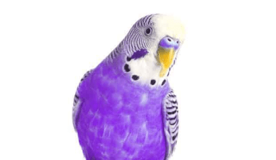 Purple Parakeets as Pets: A Complete Guide for First-Time Buyers