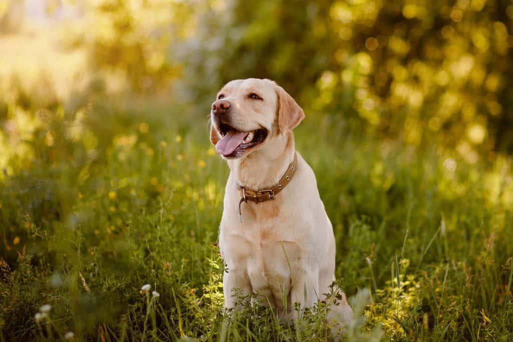 Rottweiler/Labrador Mixes (Labrottie): A Complete Guide