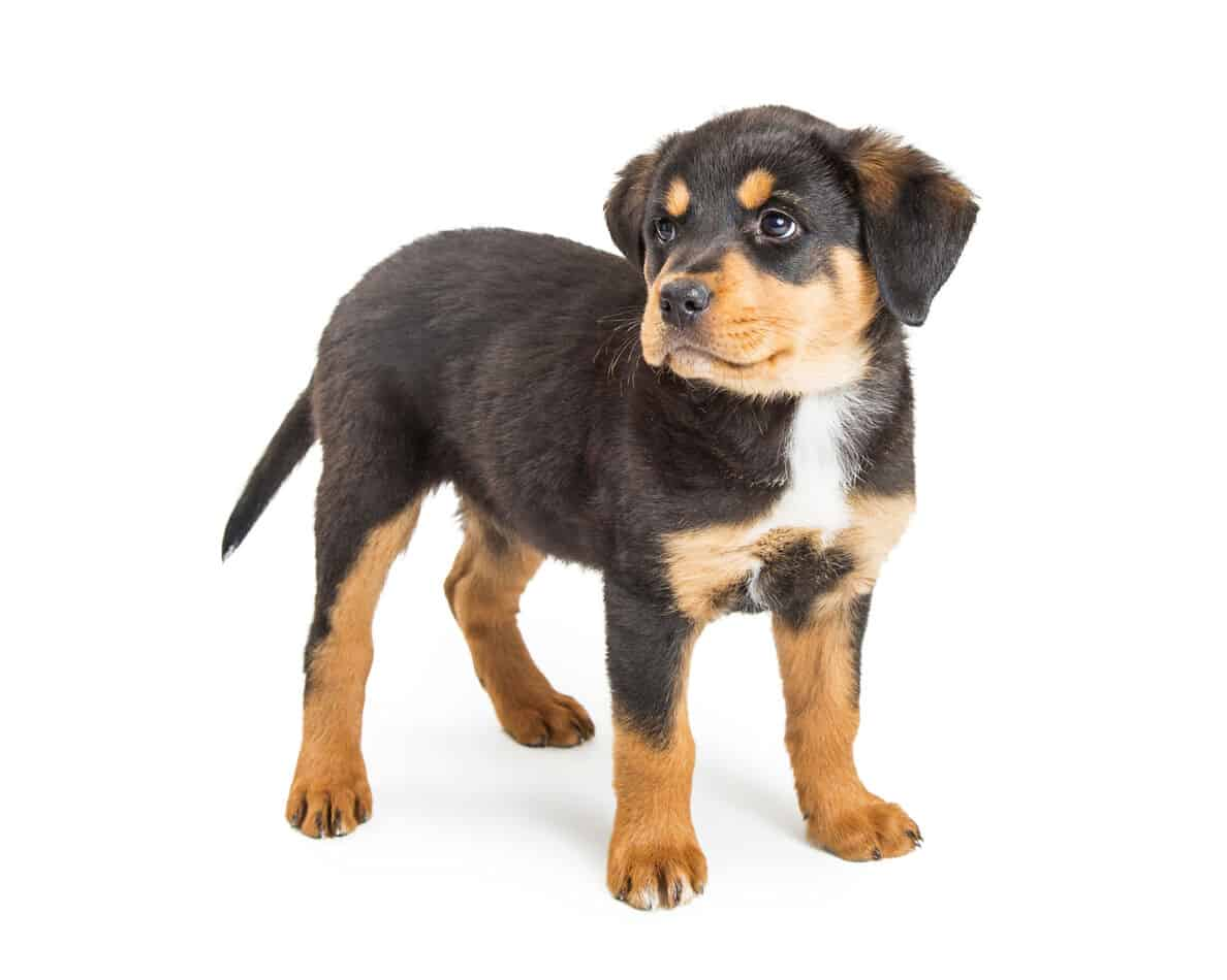 Average Cost of Buying a Rottweiler (with 21 Examples)