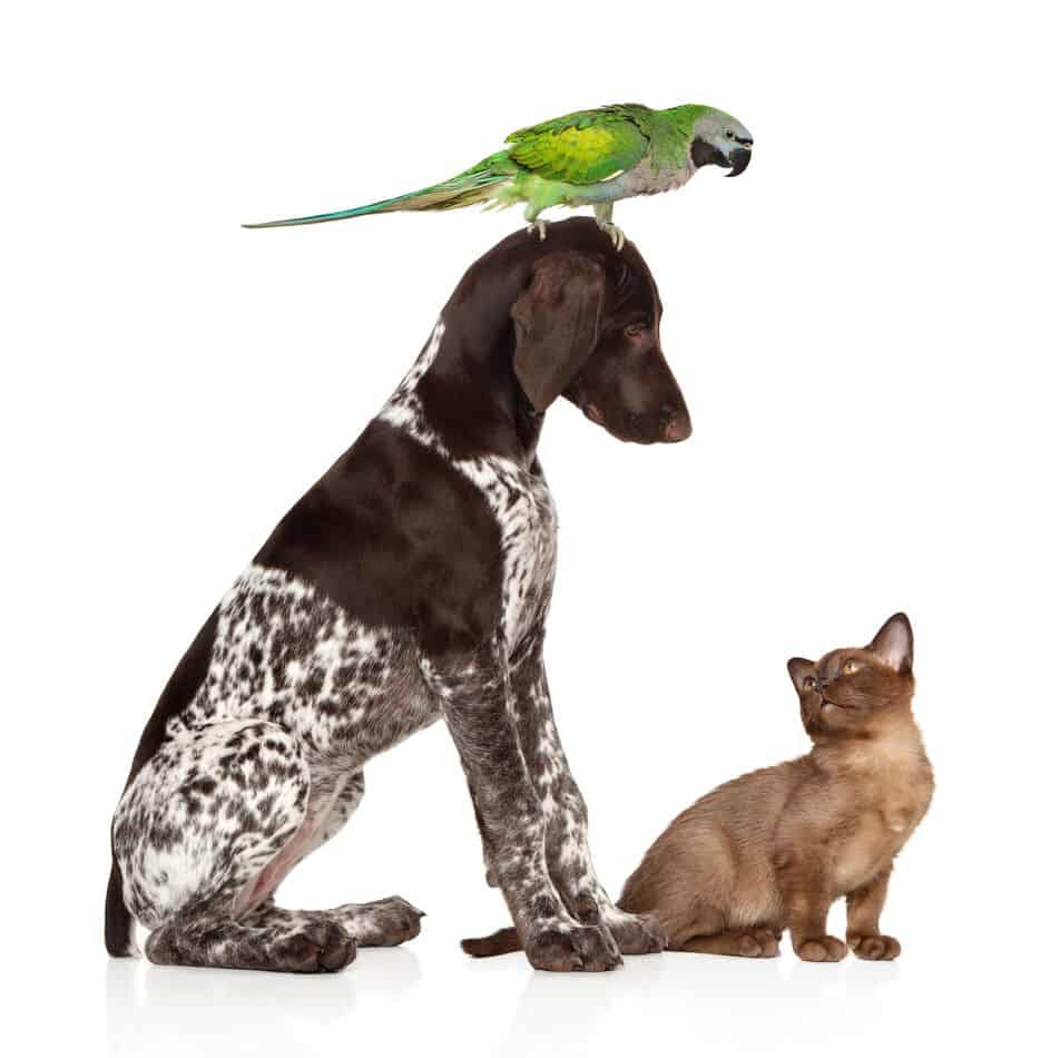 Do Pointers Get Along With Cats?