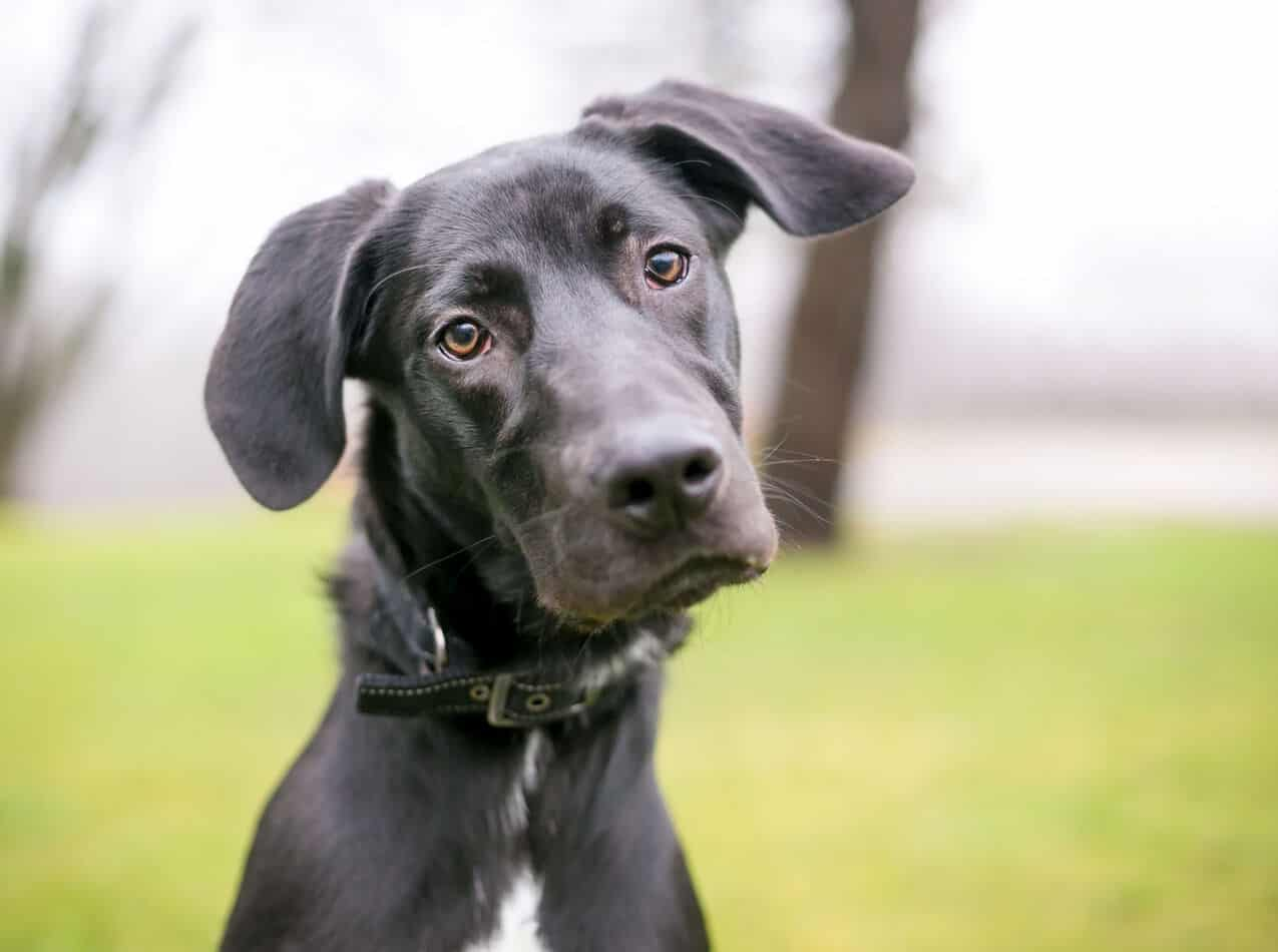 Great Dane/Labrador Mixes: A Complete Guide with Pictures