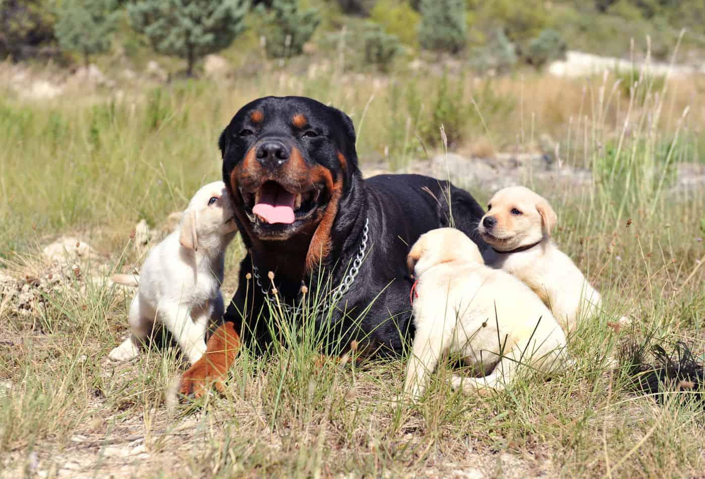 Rottweiler/Retriever Mix (Golden Rottweiler): A Complete Guide