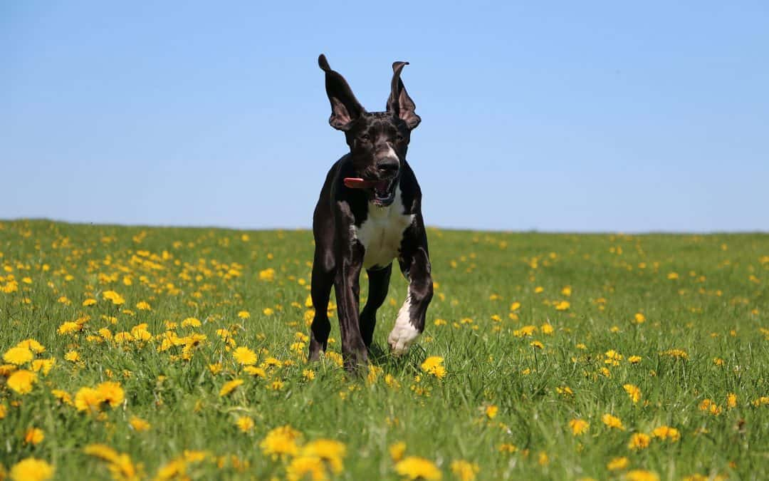 Are Great Danes Good with Kids? A Guide for Parents