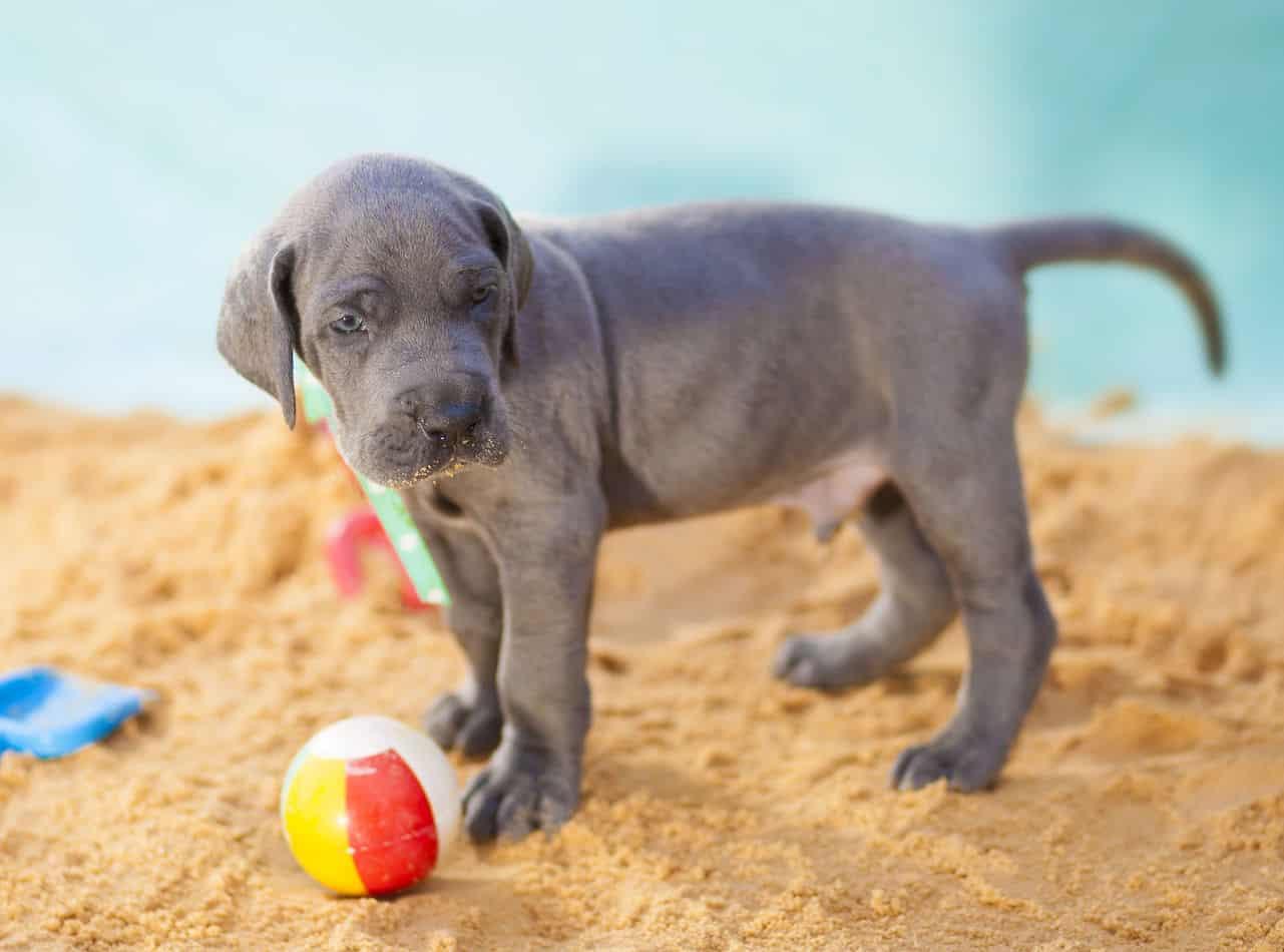 How Long Do Great Danes Reproduce Embora Pets