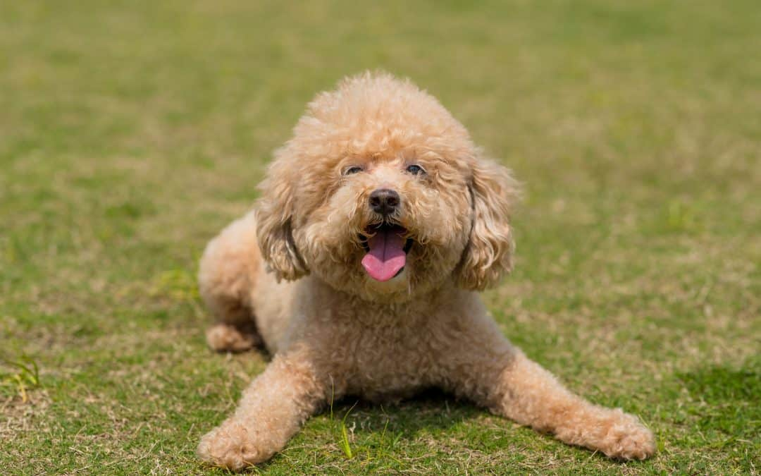 Poodle Temperament: What's it Like Owning One?
