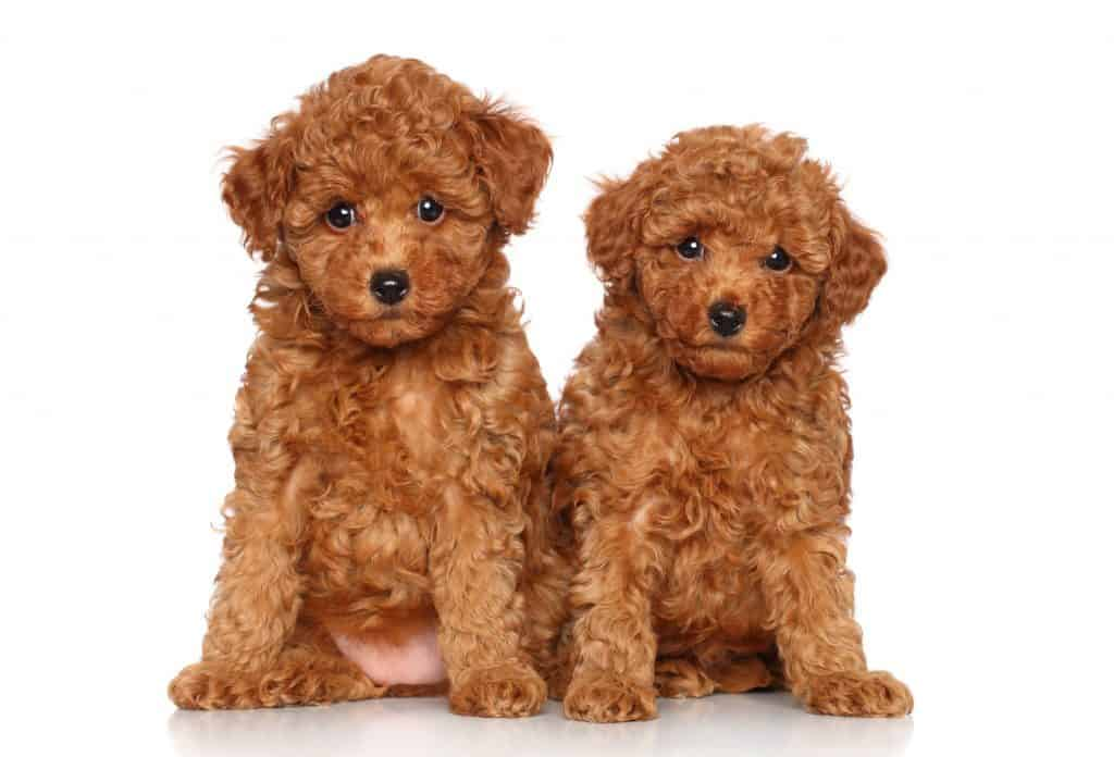 Poodles As Pets Cost Life Expectancy And Temperament Embora Pets