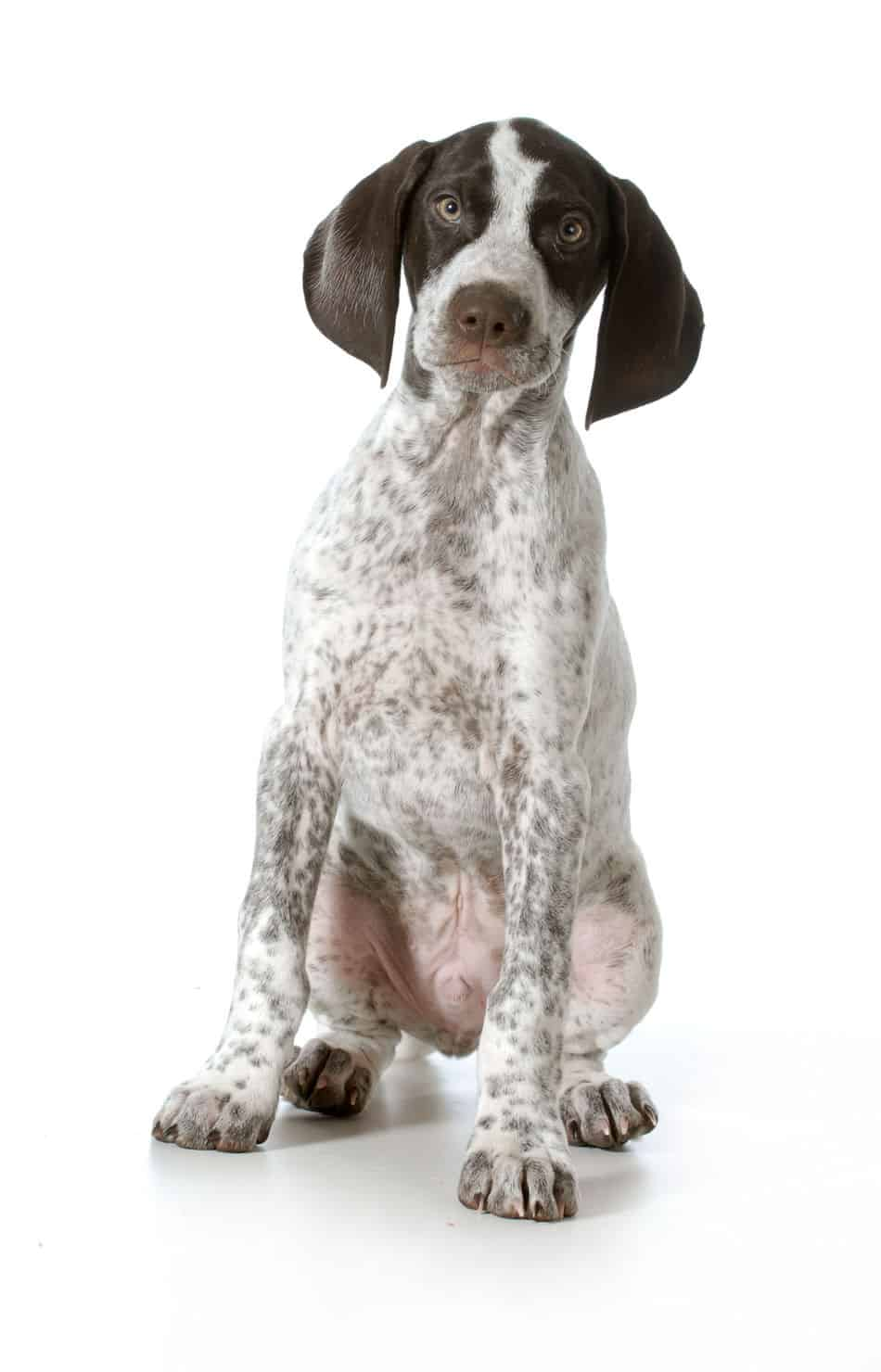 Are Pointer Puppies Good with Kids?