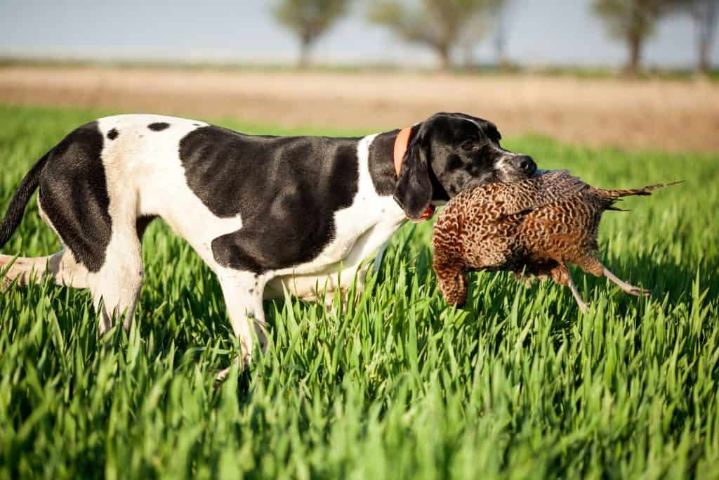 Pointer dog retrieving bird