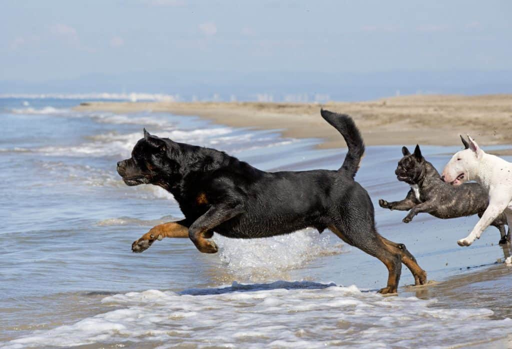 Can Rottweilers Swim? (Read this first!)