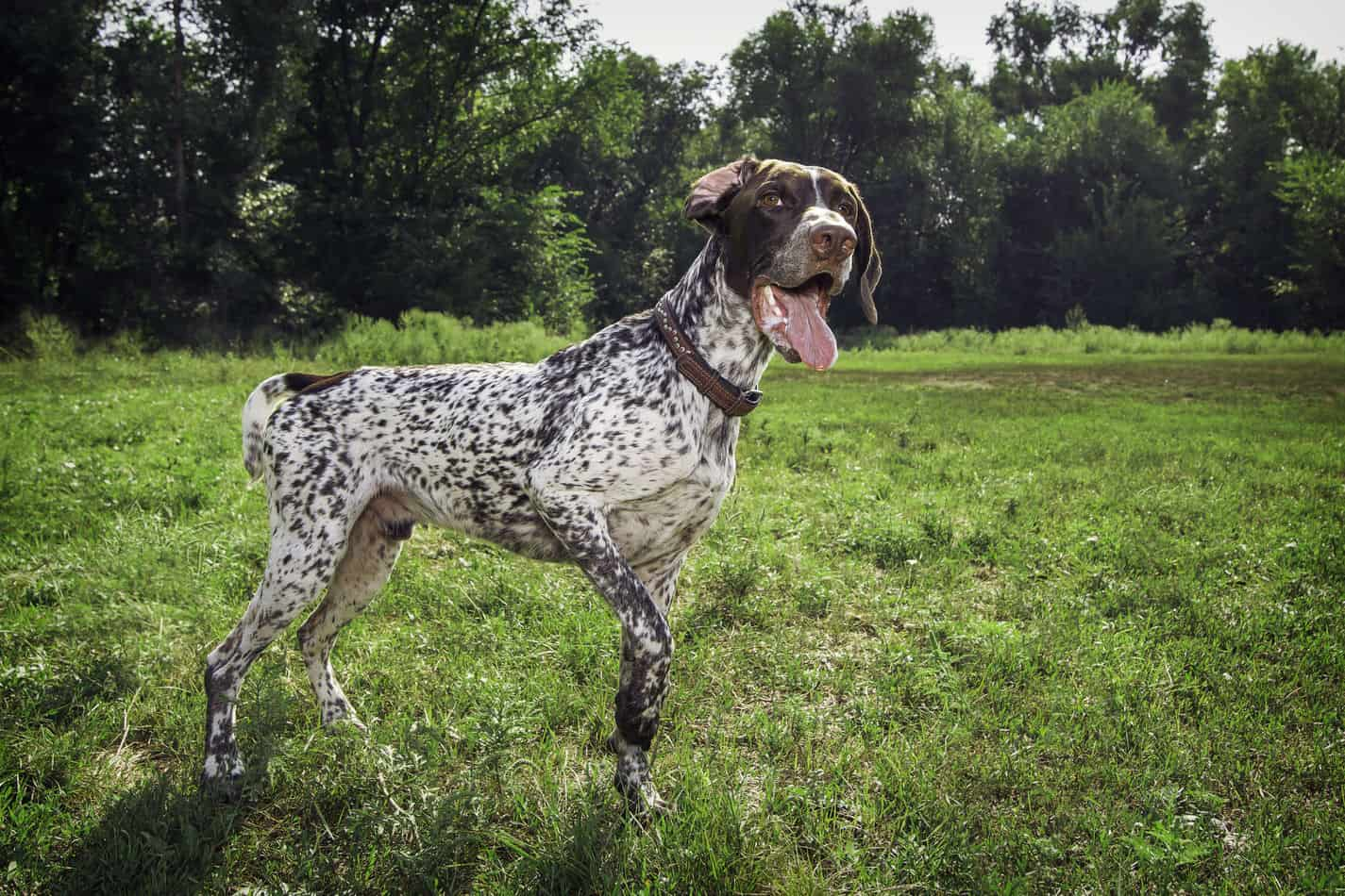 Pointer Temperament: What's it Like Owning One?