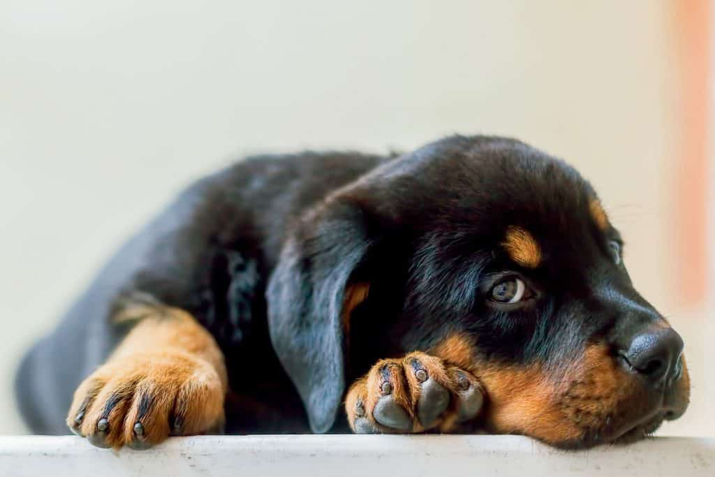 Mini Rottweilers: Everything You Could Want to Know – Embora