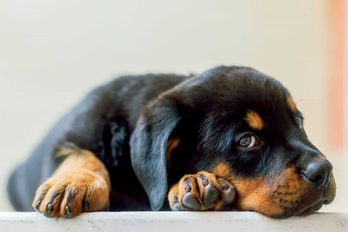 Mini Rottweilers Everything You Could