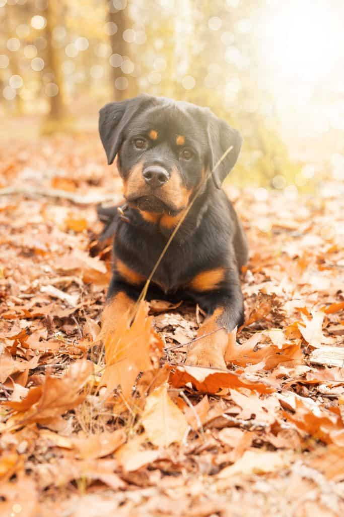 Rottweilers as Pets: Cost, Life Expectancy, and Temperament #dogs #puppies #pets