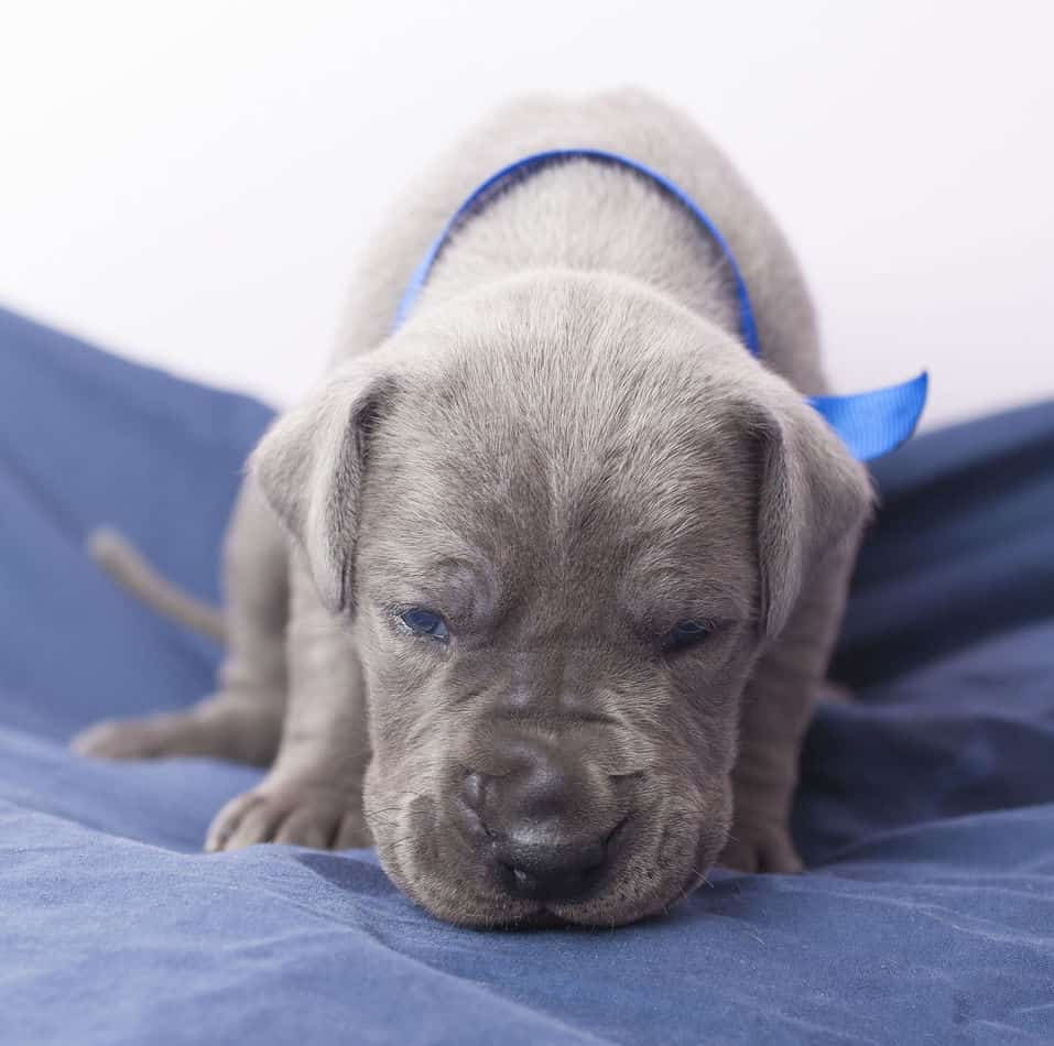 Are Great Dane Puppies Good with Kids?