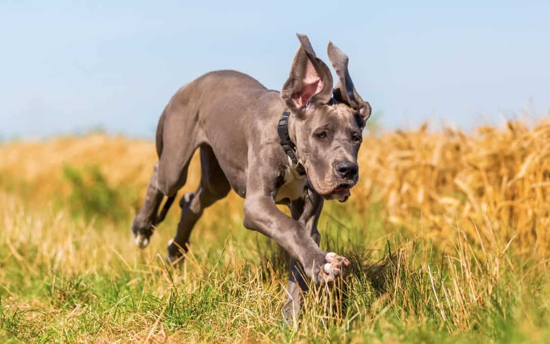 Great Dane Temperament: What's it Like Owning One?