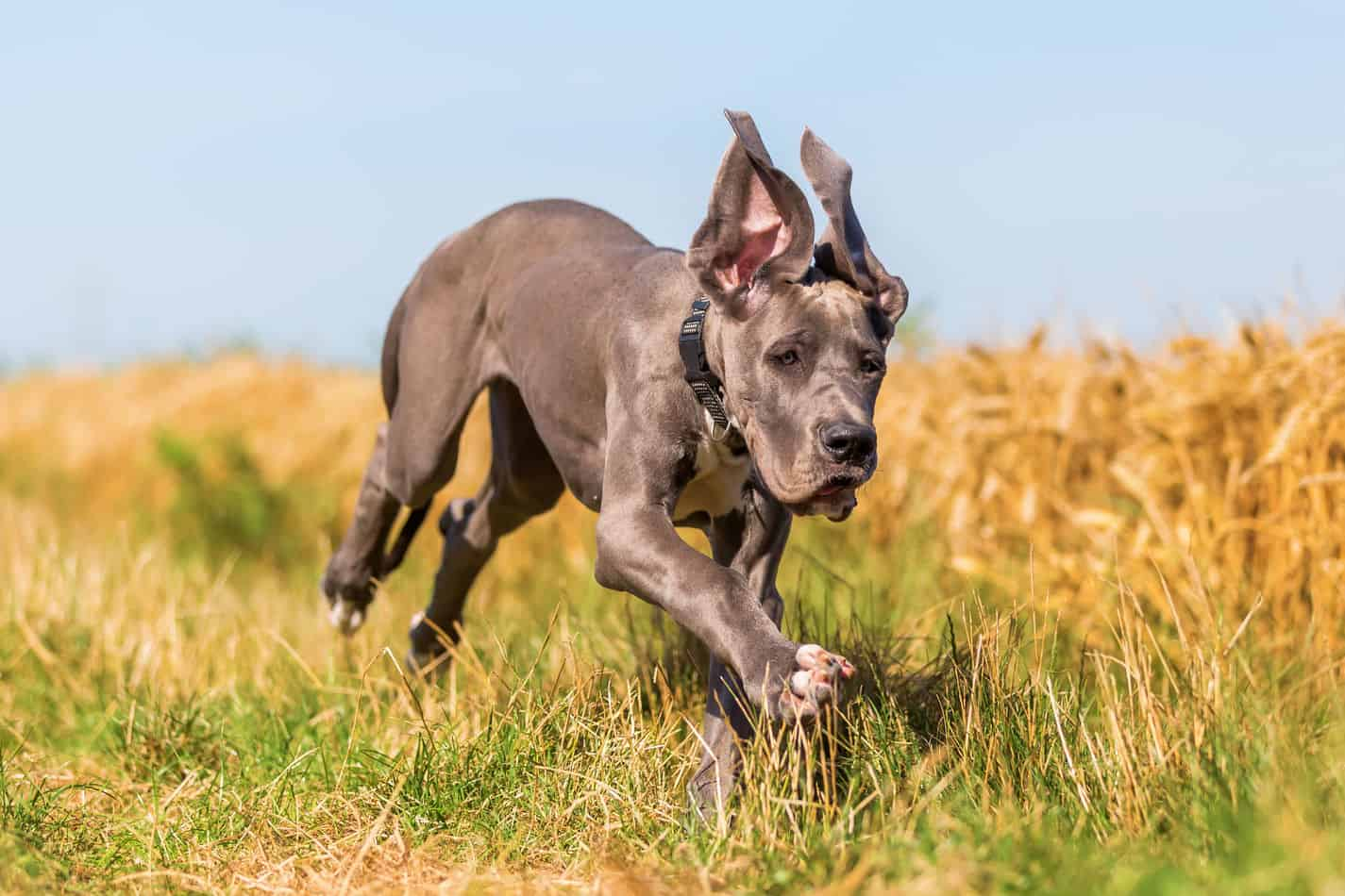 Great Dane Temperament What S It Like Owning One Embora Pets