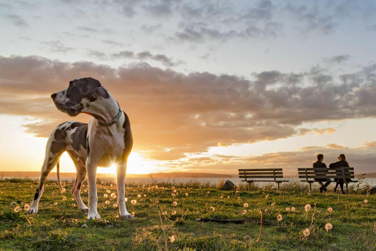 Average Cost of Buying a Great Dane (With 21 Examples)