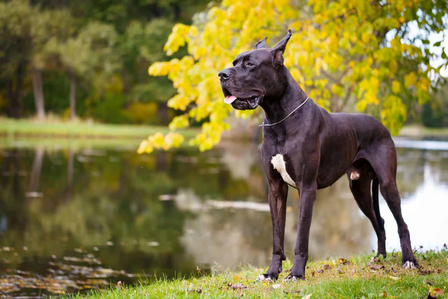 Choosing a Great Dane Mix Breed: Which