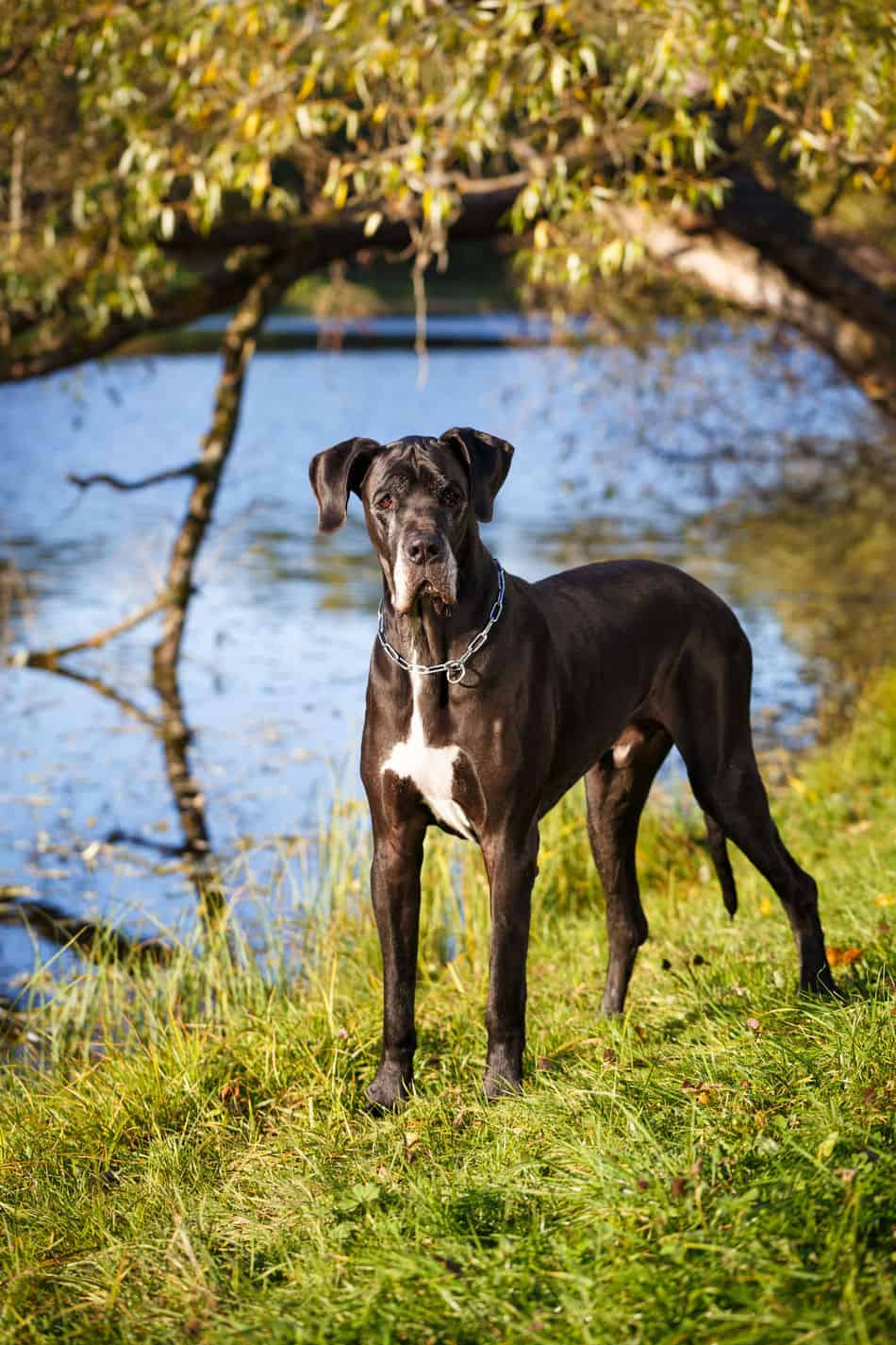 How Do Great Danes Get Plus Size