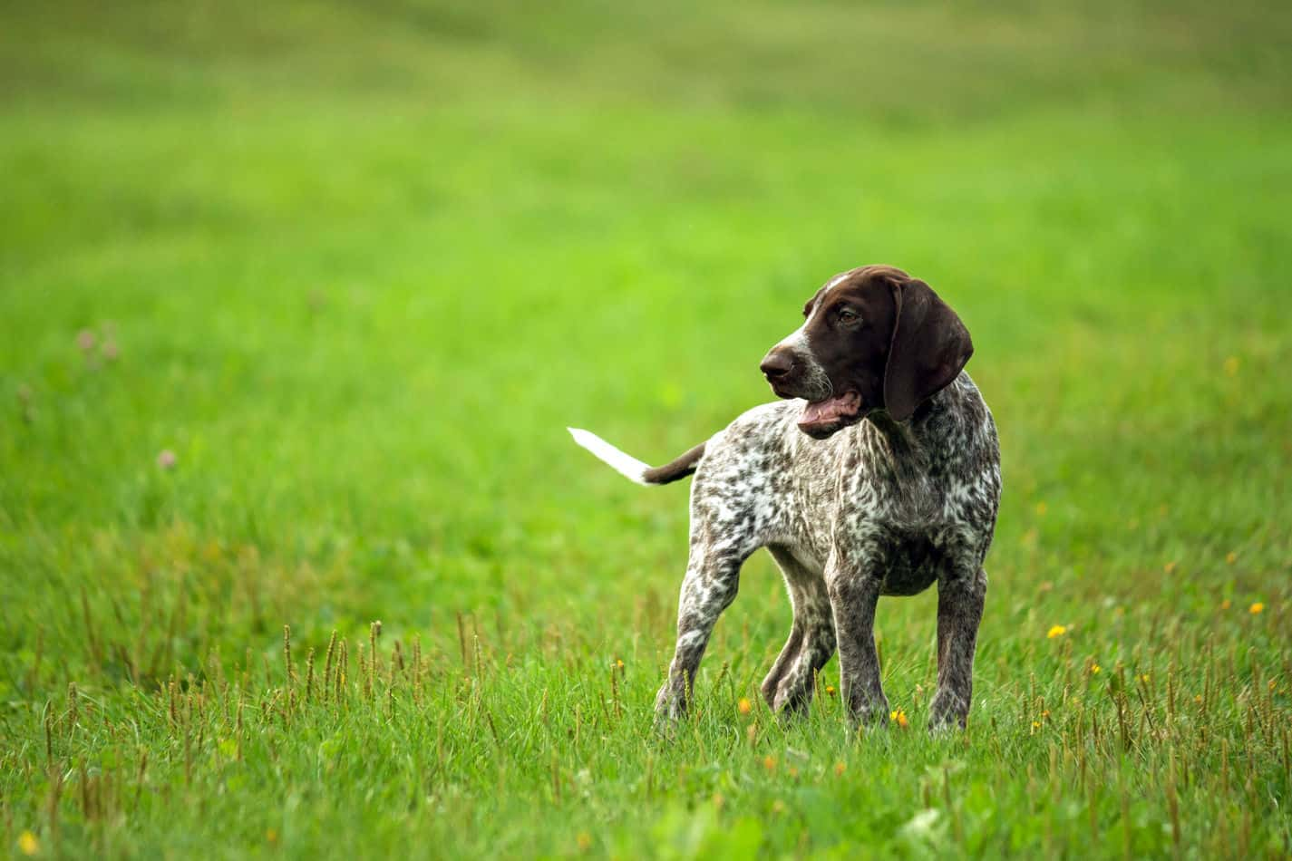 Pointer on Grass