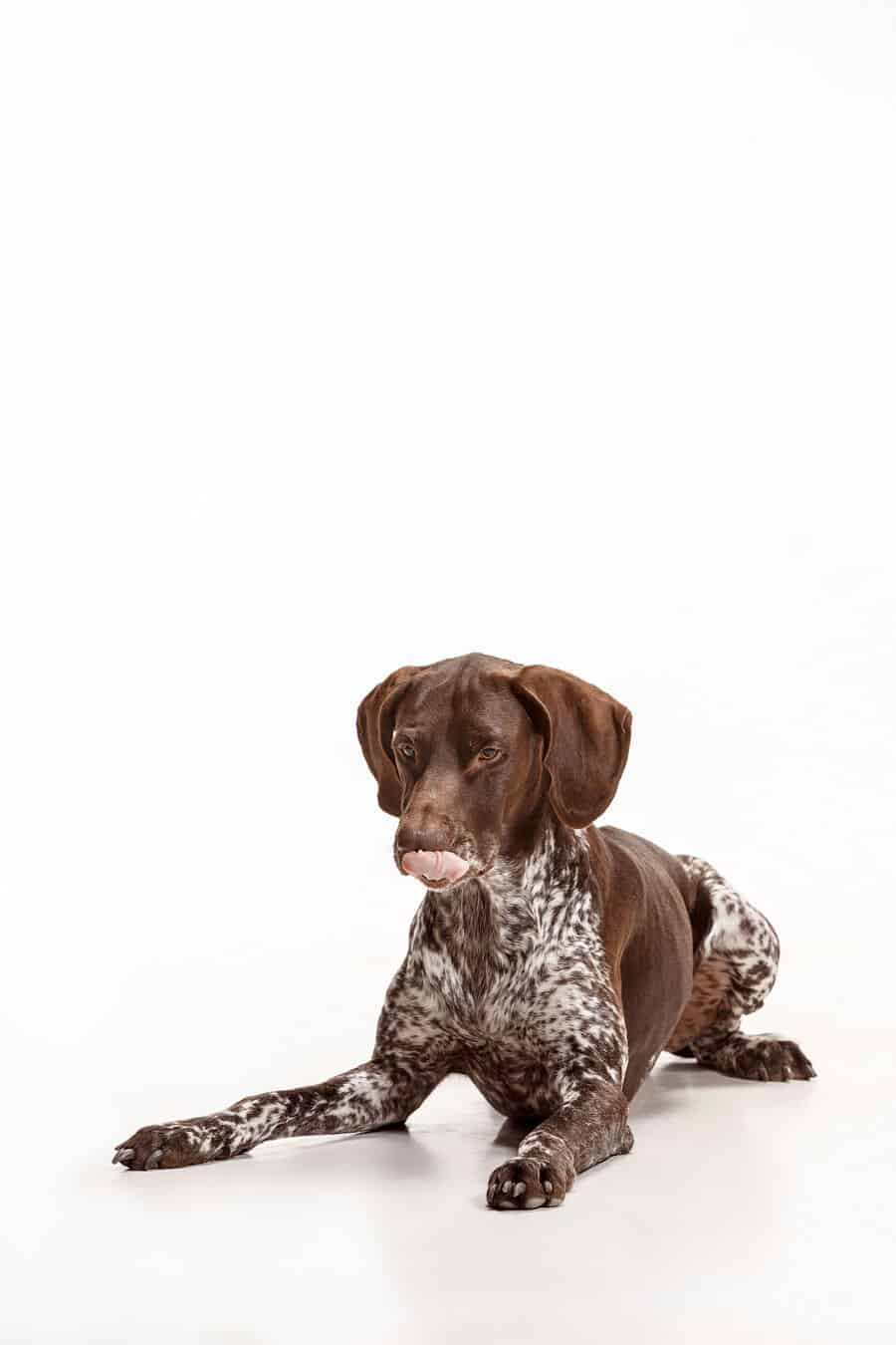 Are Pointers Good Service Dogs?