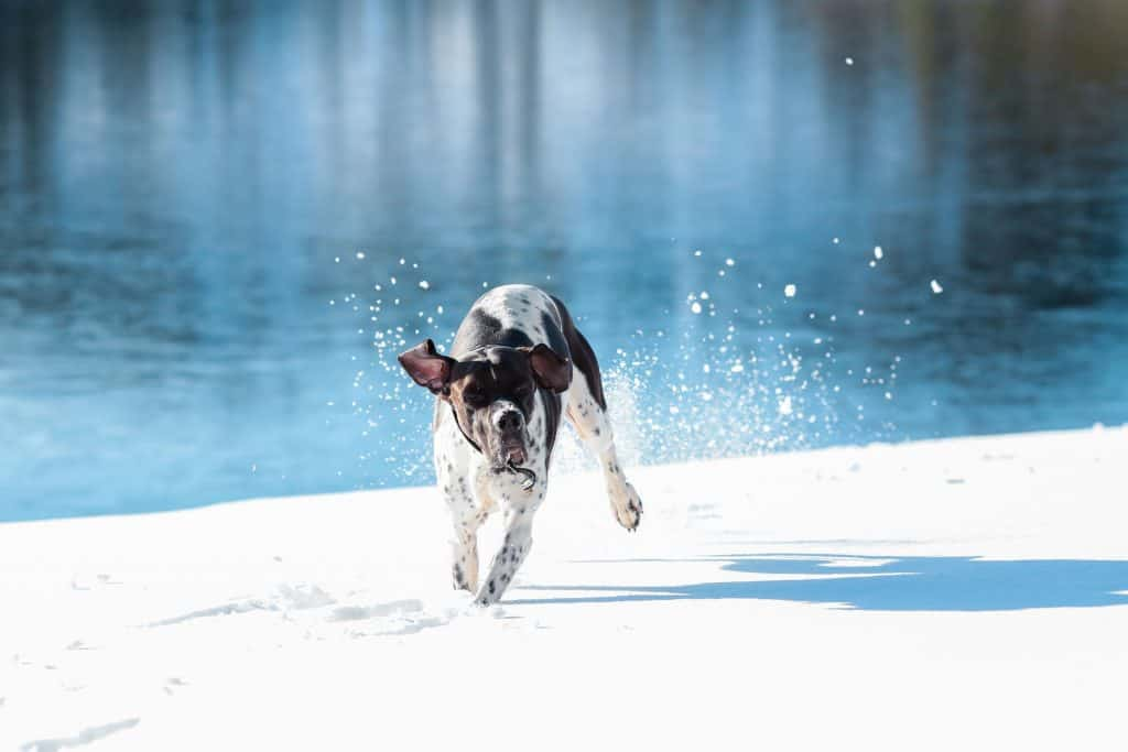 Pointer in Snow