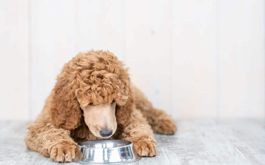 Can Poodles Eat Peanut Butter?