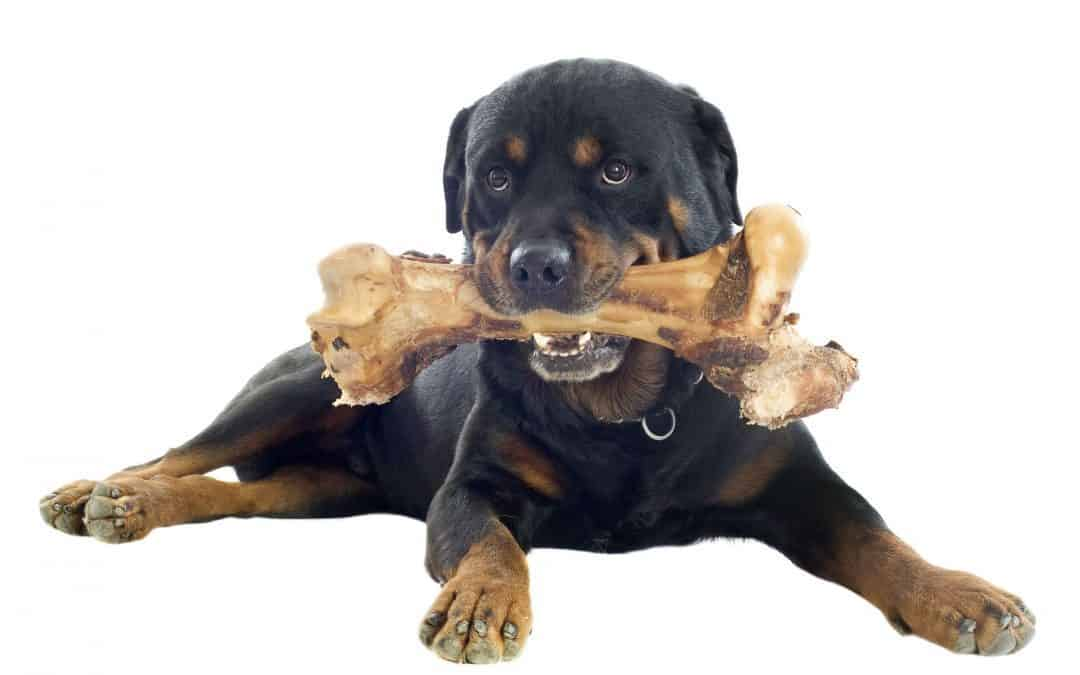 Can Rottweilers Chew on Bones?