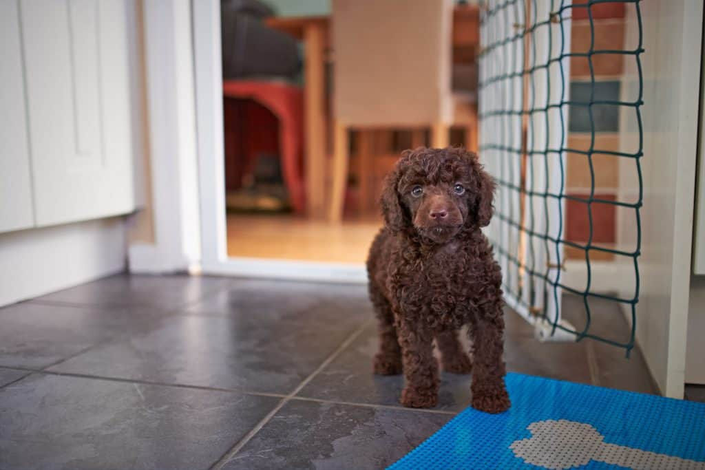 Mini Poodles Everything You Could Want To Know Embora Pets