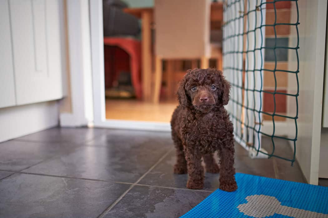 Mini Poodles: Everything You Could Want to Know