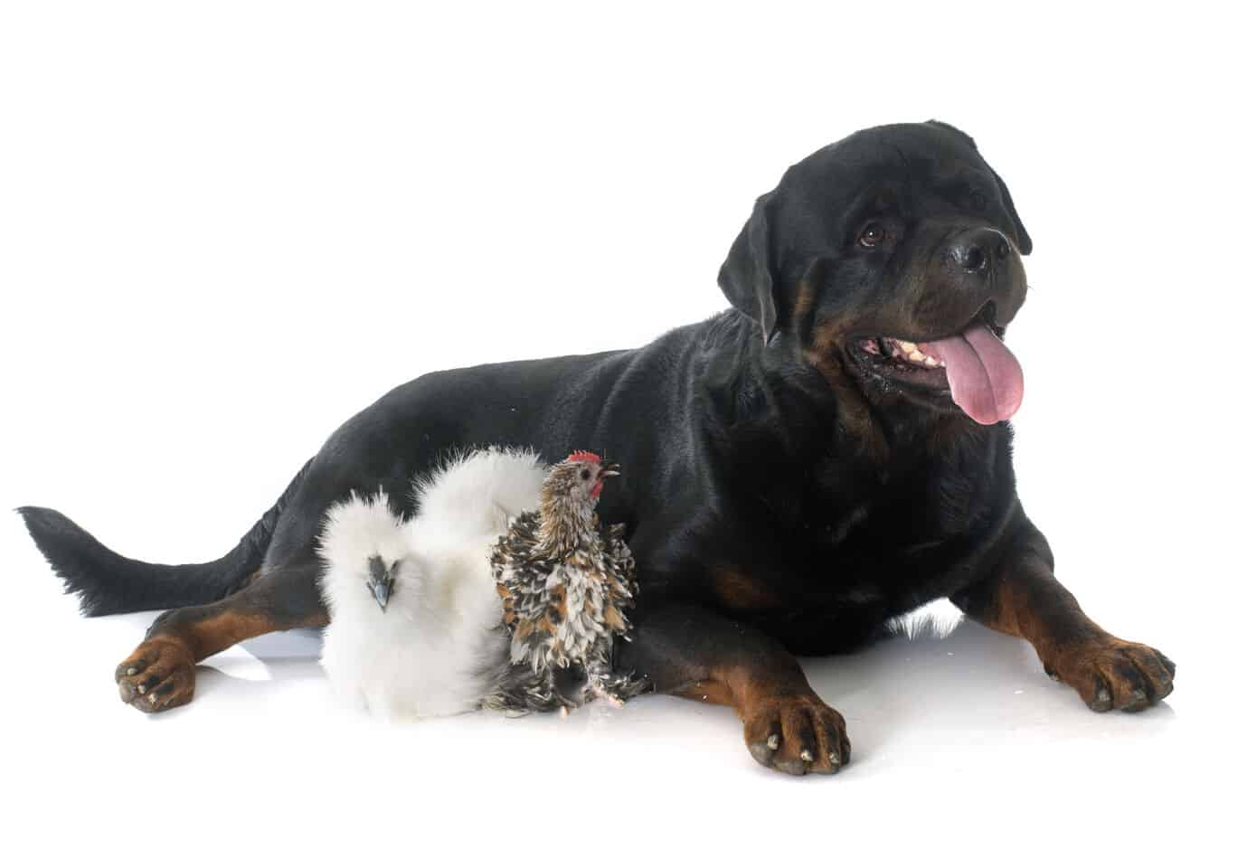 Can Rottweilers Eat Chicken?