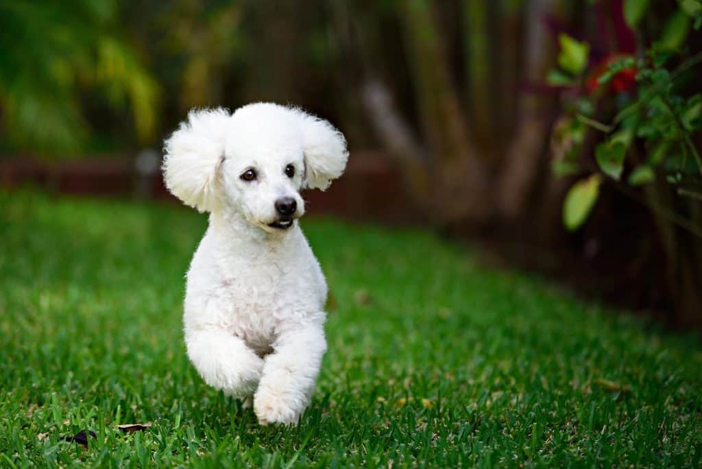 Can Poodles Stay Outside In The Heat Embora Pets