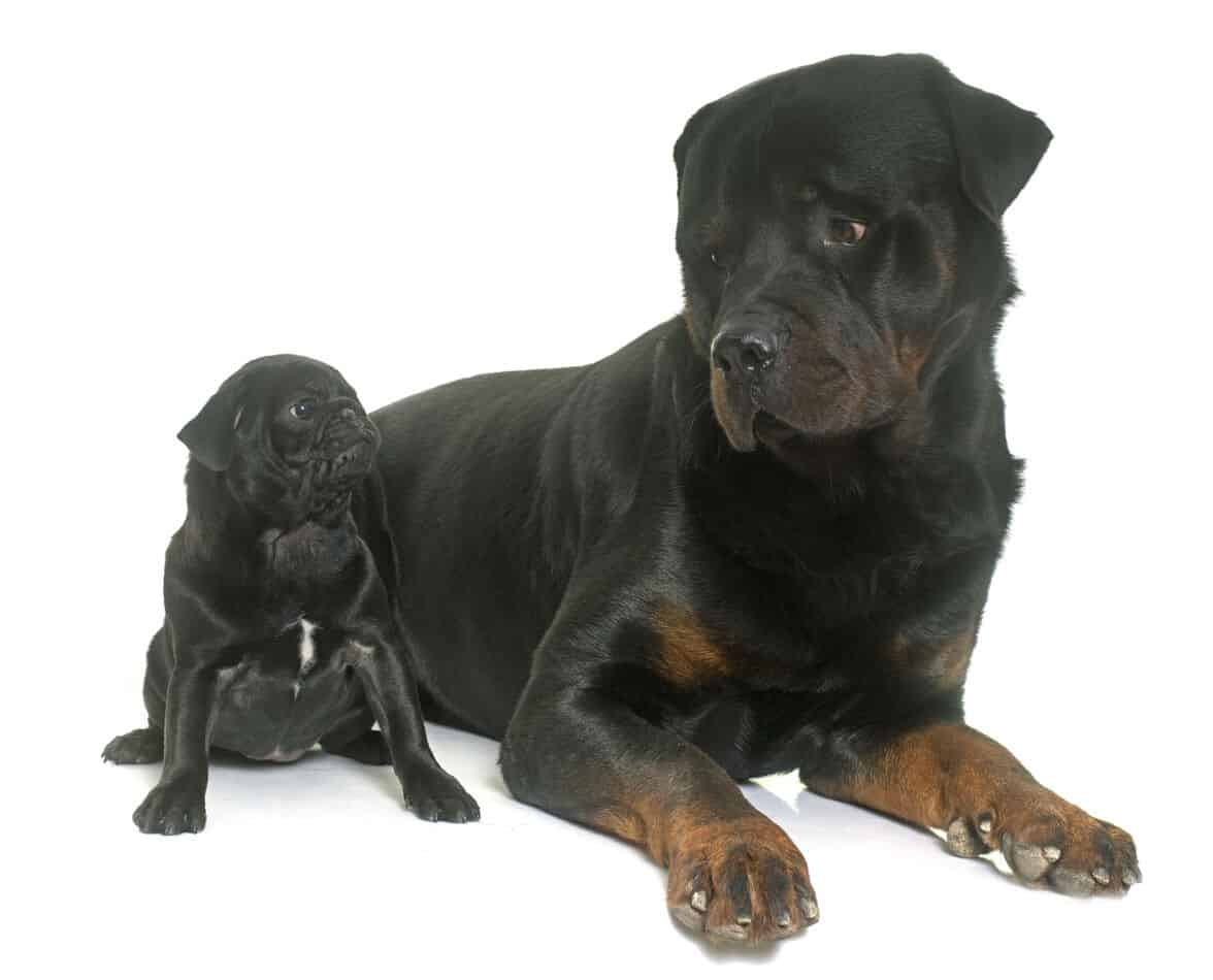 Rottweiler/Pug Mixes: Pictures, Cost to Buy, and More!