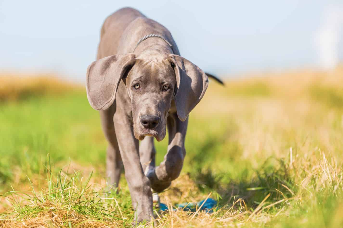 What are Great Danes Bred For?