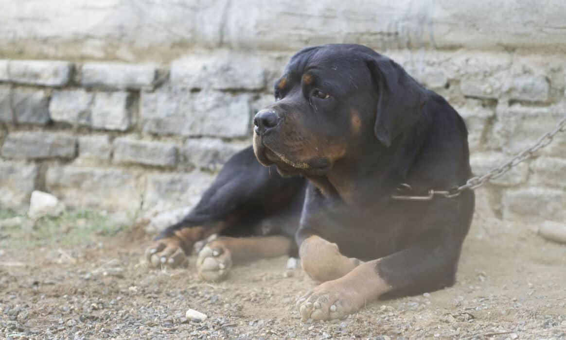 Rottweiler Average Life Expectancy (With 21 Examples)