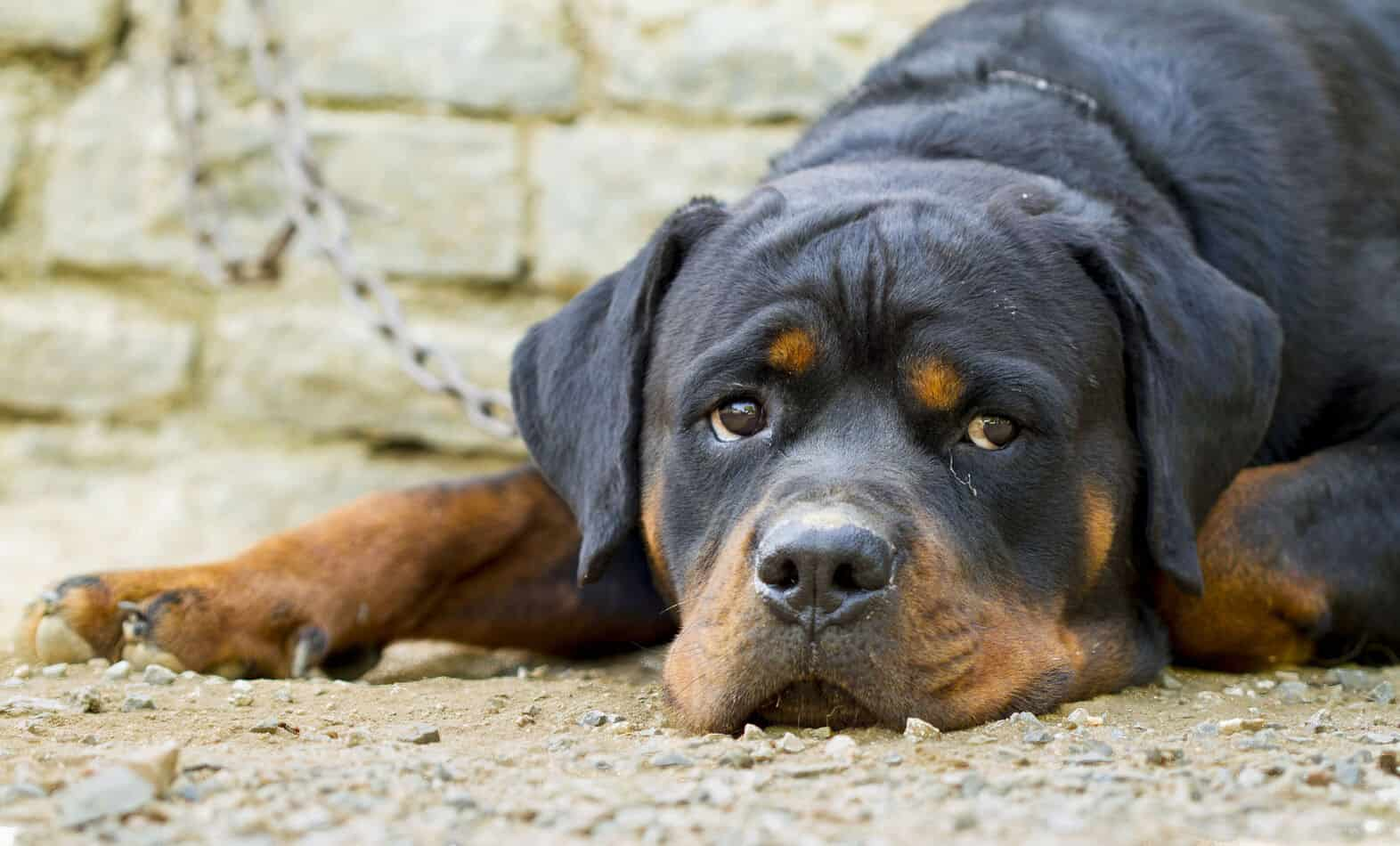 What Are Rottweilers Bred For?