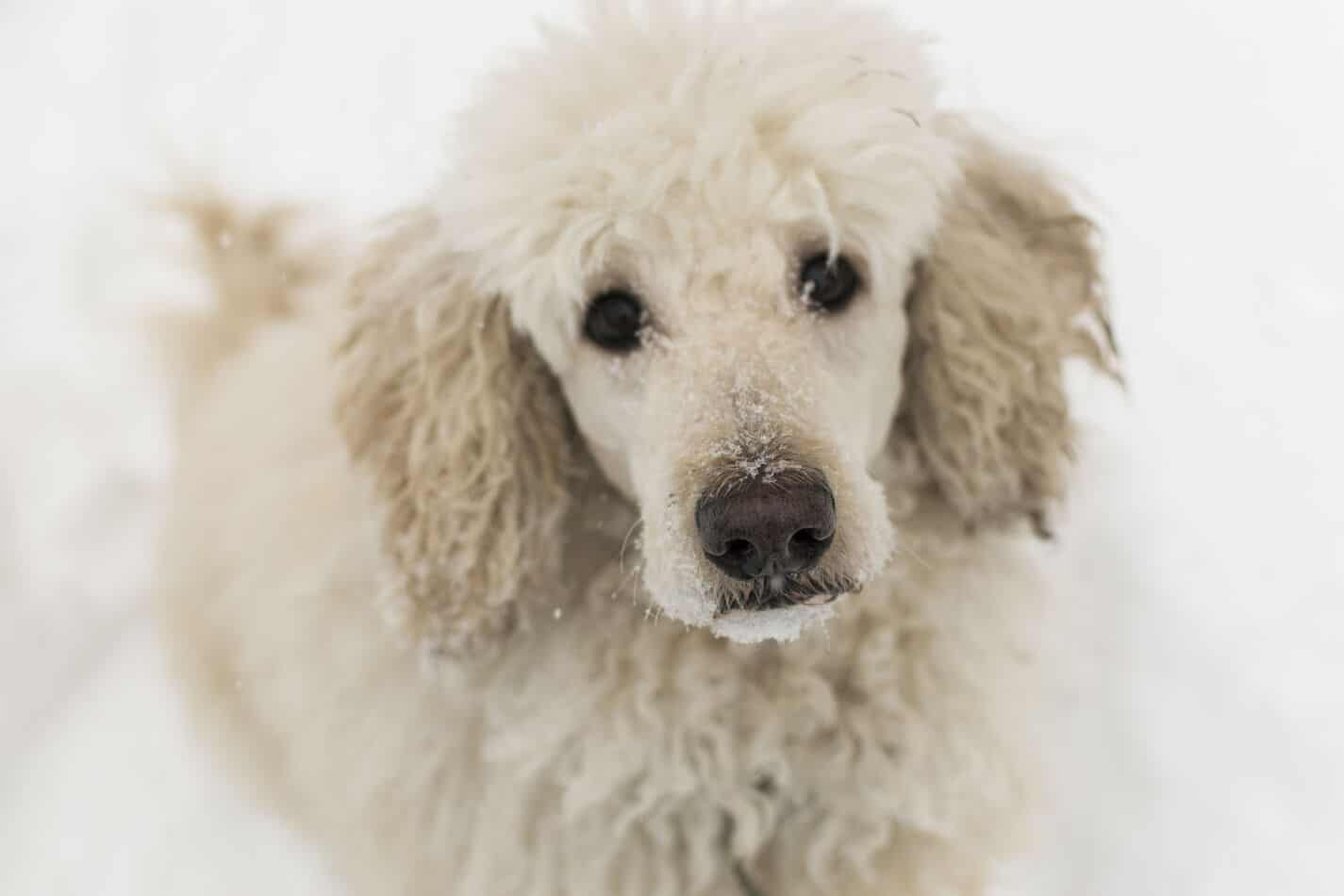 Can Poodles Stay Outside in the Cold?