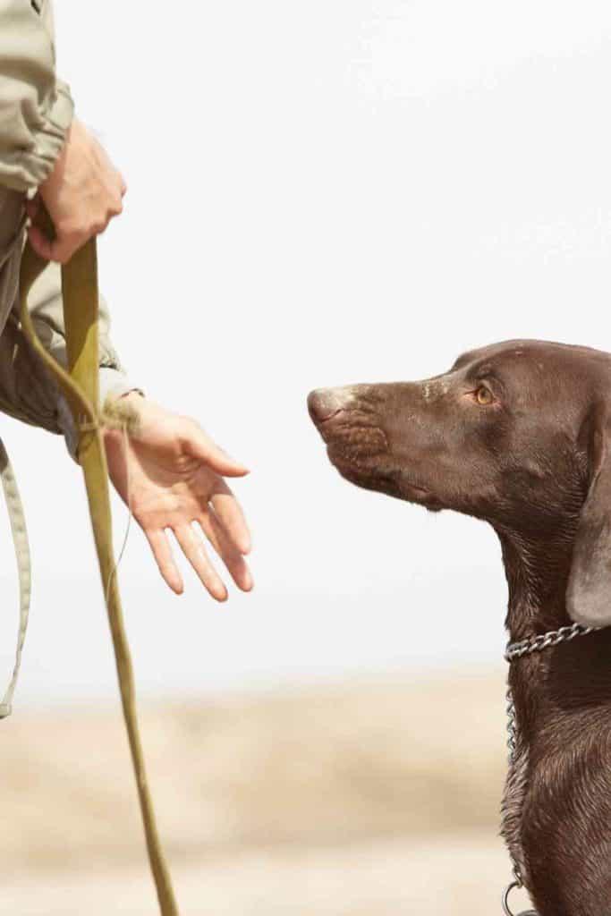 pointer dog training