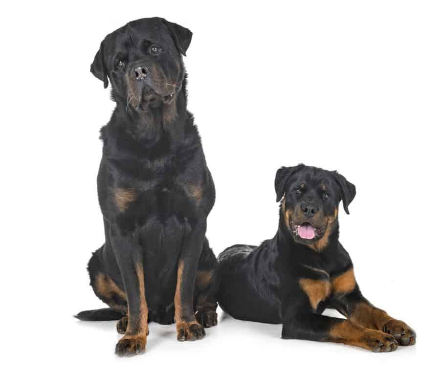 Best Age To Neuter A Rottweiler Embora Pets
